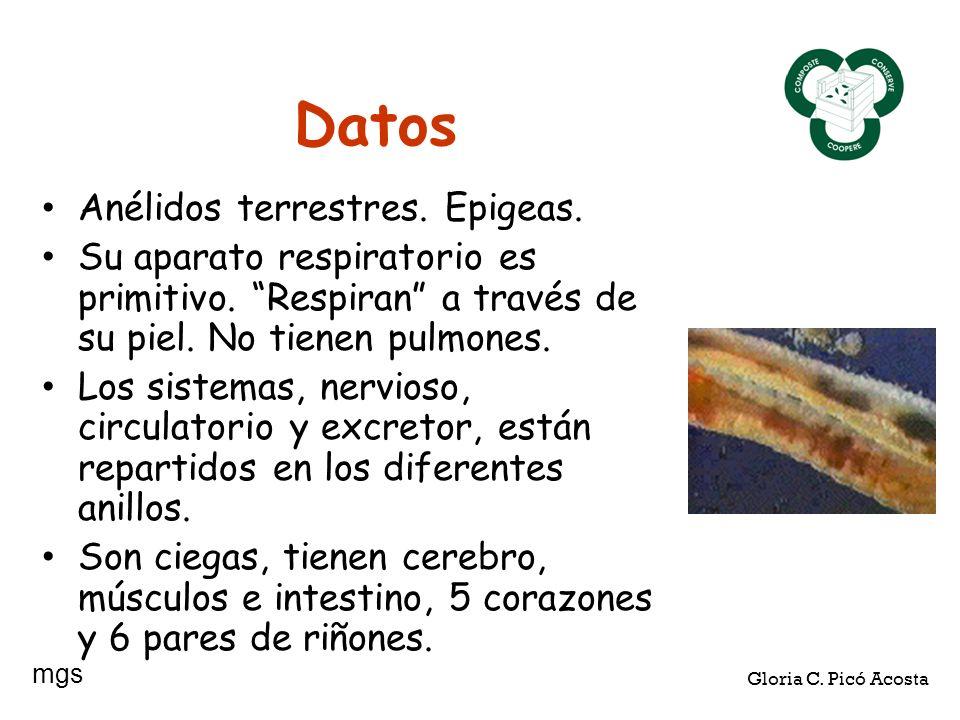 Datos Anélidos terrestres. Epigeas. Su aparato respiratorio es primitivo. Respiran a través de su piel. No tienen pulmones. Los sistemas, nervioso, ci