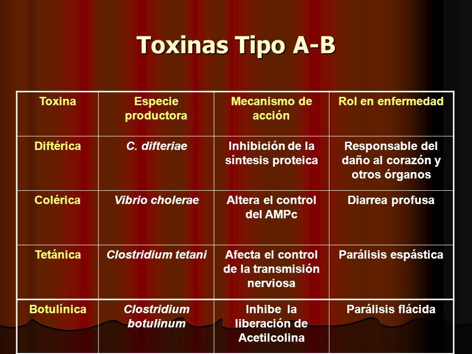 Toxinas Tipo A-B ToxinaEspecie productora Mecanismo de acción Rol en enfermedad DiftéricaC.