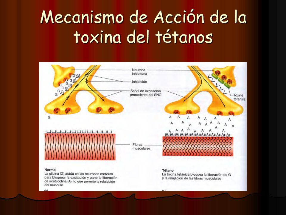 Mecanismo de Acci ó n de la toxina del t é tanos