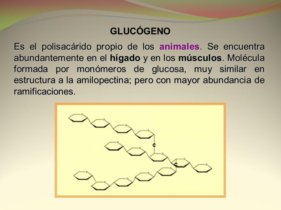 Es el polisacárido propio de los animales. Se encuentra abundantemente en el hígado y en los músculos. Molécula formada por monómeros de glucosa, muy