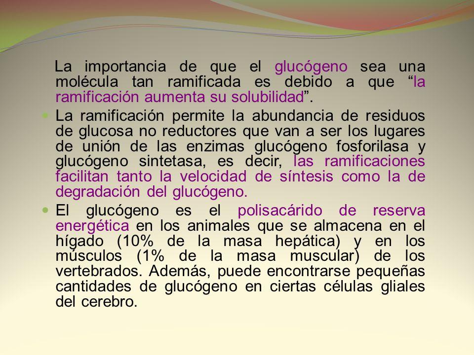 La importancia de que el glucógeno sea una molécula tan ramificada es debido a que la ramificación aumenta su solubilidad. La ramificación permite la