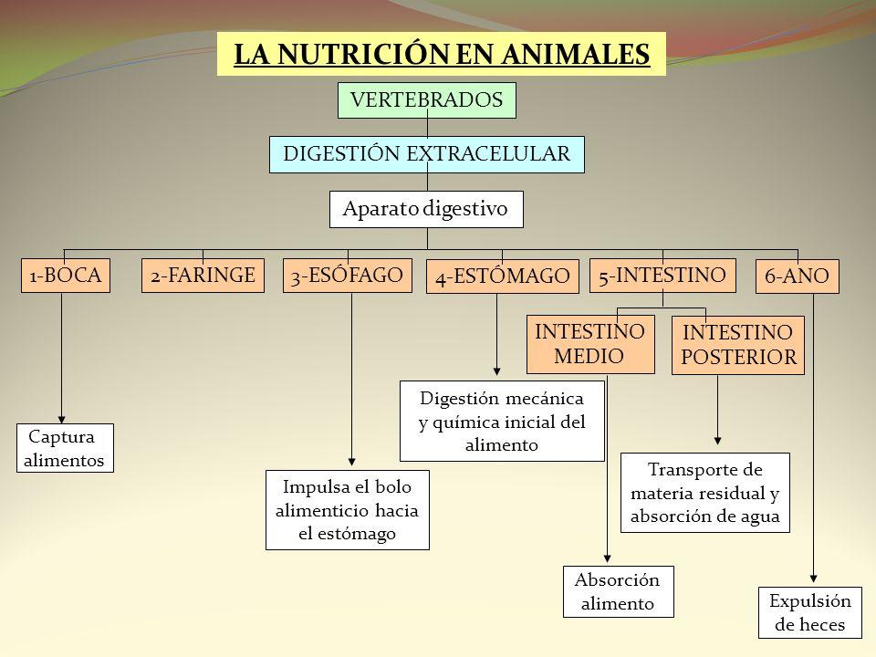 LA NUTRICIÓN EN ANIMALES Aparato digestivo 1-BOCA5-INTESTINO 4-ESTÓMAGO 3-ESÓFAGO2-FARINGE Captura alimentos Absorción alimento VERTEBRADOS 6-ANO Impu