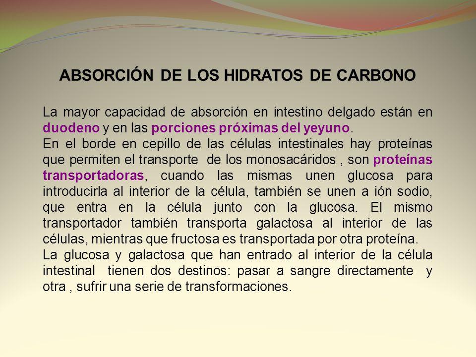 ABSORCIÓN DE LOS HIDRATOS DE CARBONO La mayor capacidad de absorción en intestino delgado están en duodeno y en las porciones próximas del yeyuno. En