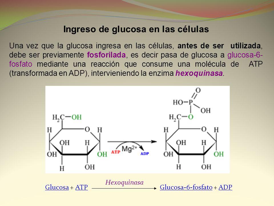 Una vez que la glucosa ingresa en las células, antes de ser utilizada, debe ser previamente fosforilada, es decir pasa de glucosa a glucosa-6- fosfato