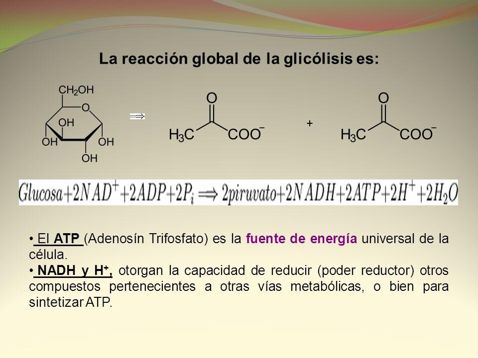La reacción global de la glicólisis es: + El ATP (Adenosín Trifosfato) es la fuente de energía universal de la célula. NADH y H +, otorgan la capacida