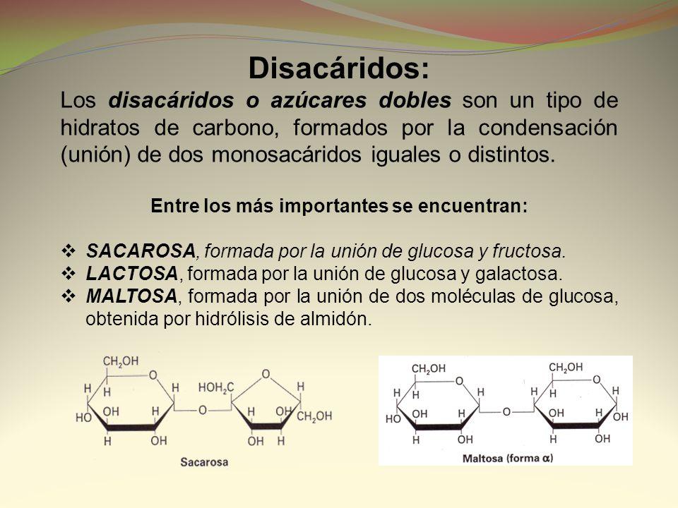 Disacáridos: Los disacáridos o azúcares dobles son un tipo de hidratos de carbono, formados por la condensación (unión) de dos monosacáridos iguales o