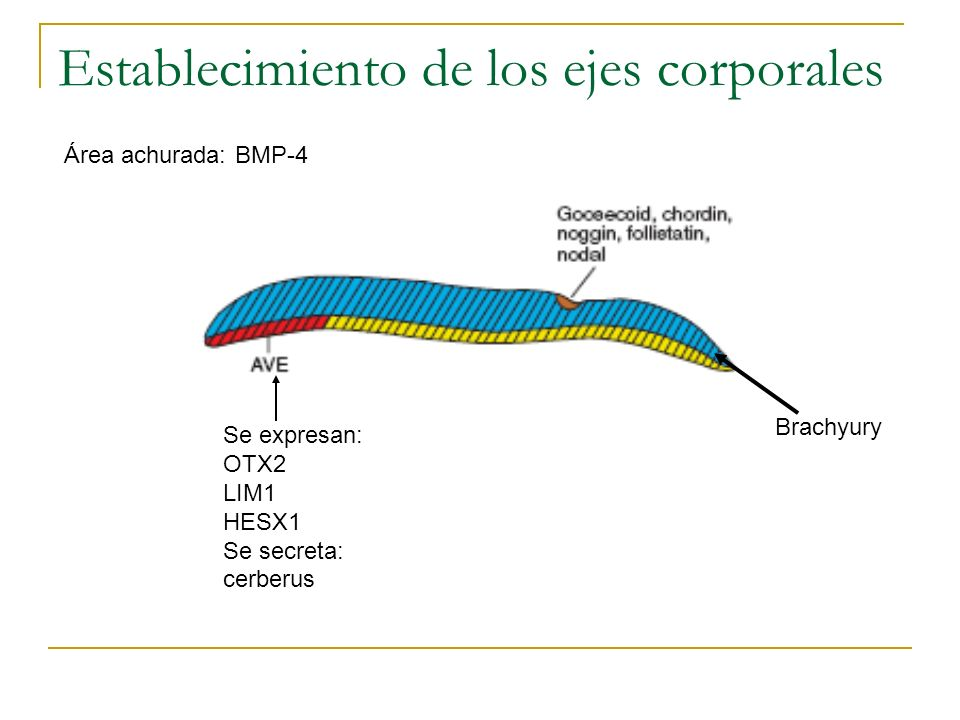 Establecimiento de los ejes corporales Se expresan: OTX2 LIM1 HESX1 Se secreta: cerberus Área achurada: BMP-4 Brachyury