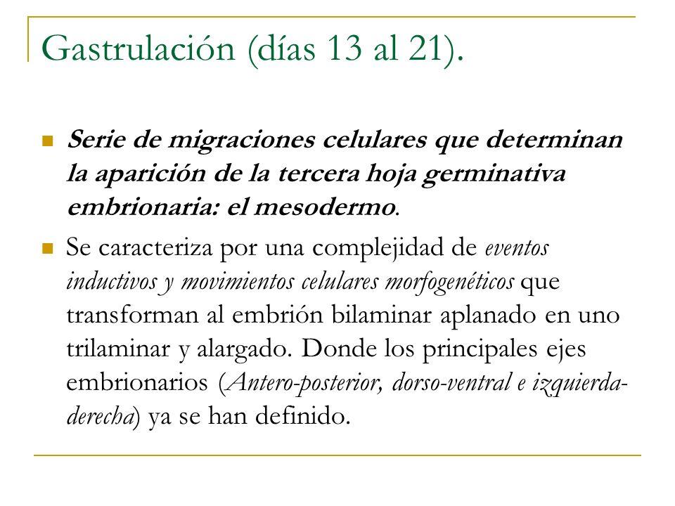 Gastrulación (días 13 al 21). Serie de migraciones celulares que determinan la aparición de la tercera hoja germinativa embrionaria: el mesodermo. Se