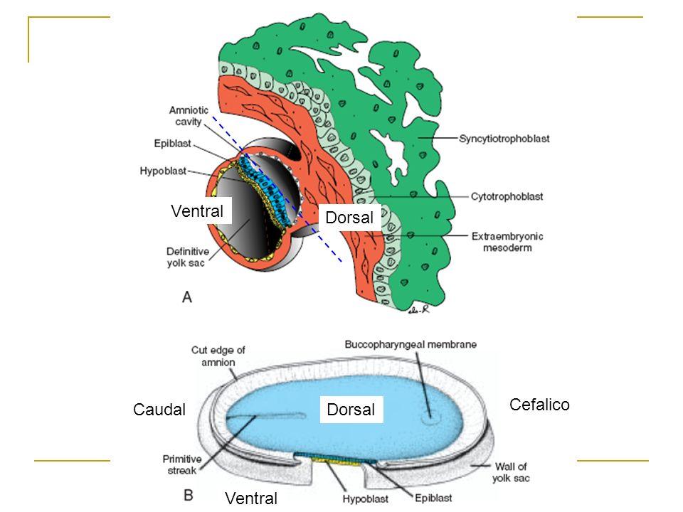 Principales eventos celulares que acontecen durante la gastrulación: 1.