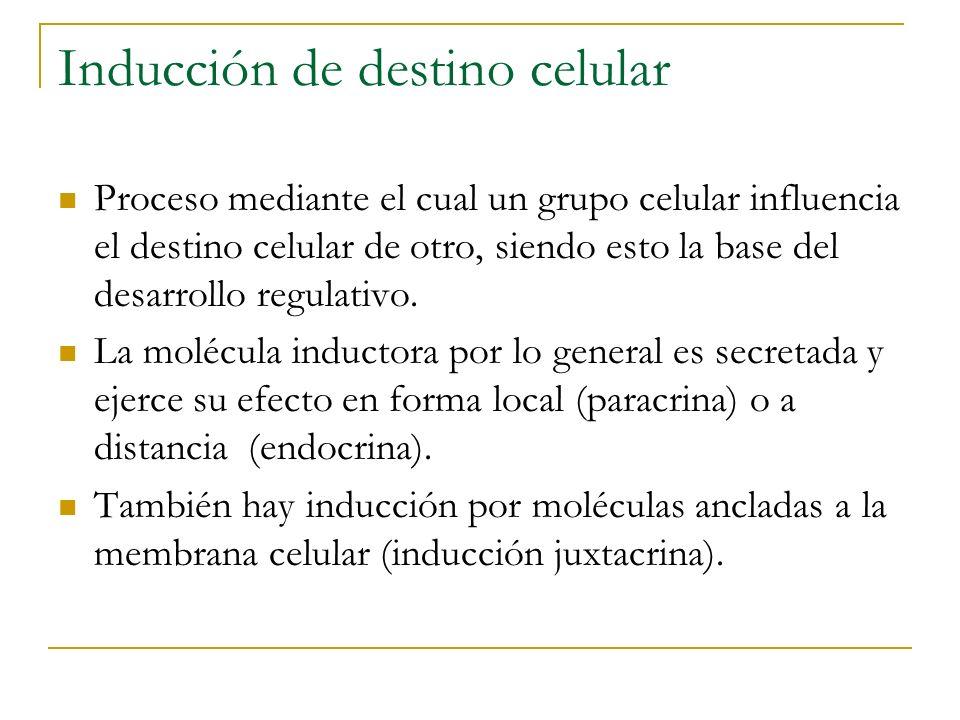 Inducción de destino celular Proceso mediante el cual un grupo celular influencia el destino celular de otro, siendo esto la base del desarrollo regul