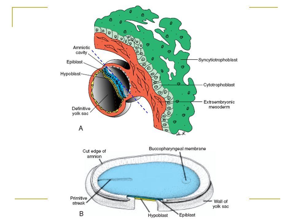 Día 13 formación de la línea primitiva Aparece en la región caudal, por dorsal, en la línea media y se va alargando progresivamente hacia cefálico, en su extremo craneal sufre un engrosamiento que constituye el nódulo primitivo o de Hensen.