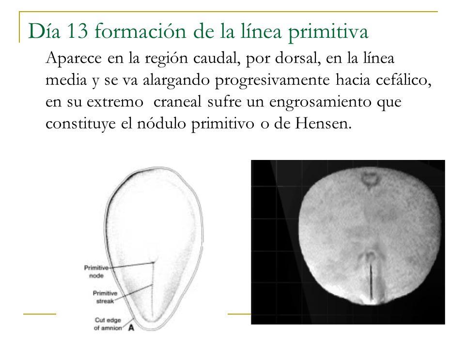 Día 13 formación de la línea primitiva Aparece en la región caudal, por dorsal, en la línea media y se va alargando progresivamente hacia cefálico, en