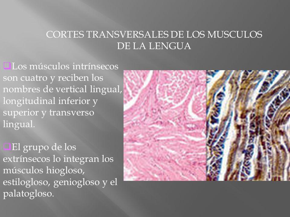 CORTES TRANSVERSALES DE LOS MUSCULOS DE LA LENGUA Los músculos intrínsecos son cuatro y reciben los nombres de vertical lingual, longitudinal inferior