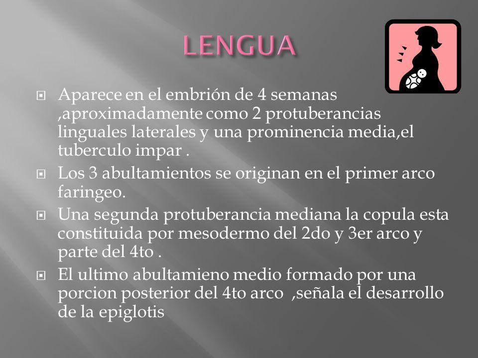 Aparece en el embrión de 4 semanas,aproximadamente como 2 protuberancias linguales laterales y una prominencia media,el tuberculo impar. Los 3 abultam