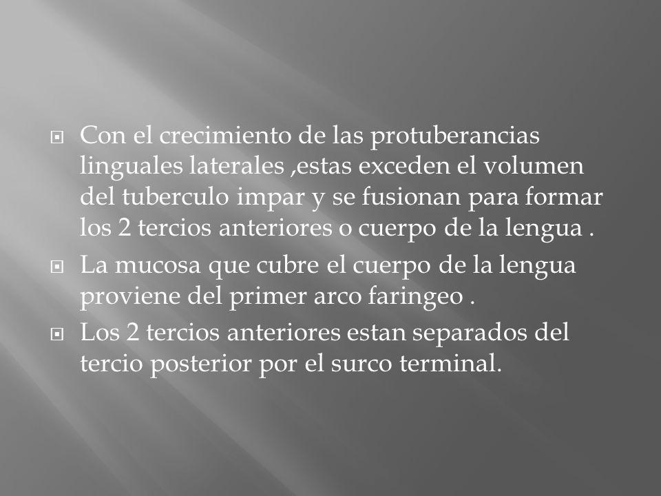 Con el crecimiento de las protuberancias linguales laterales,estas exceden el volumen del tuberculo impar y se fusionan para formar los 2 tercios ante