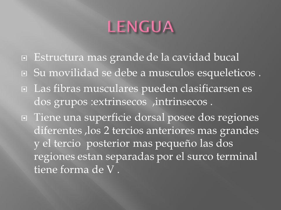 Estructura mas grande de la cavidad bucal Su movilidad se debe a musculos esqueleticos. Las fibras musculares pueden clasificarsen es dos grupos :extr