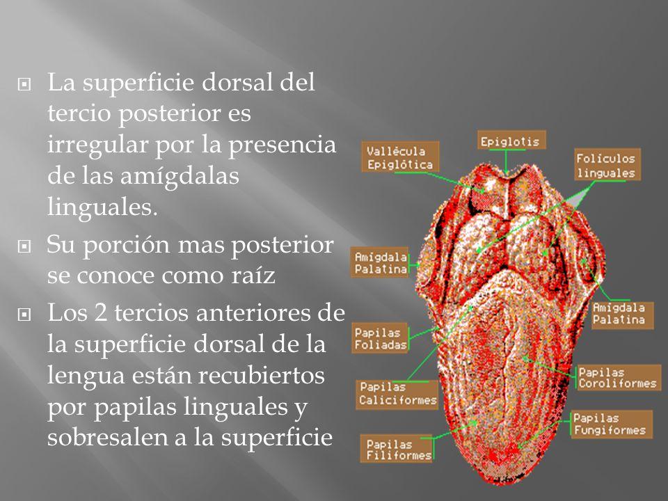 La superficie dorsal del tercio posterior es irregular por la presencia de las amígdalas linguales. Su porción mas posterior se conoce como raíz Los 2