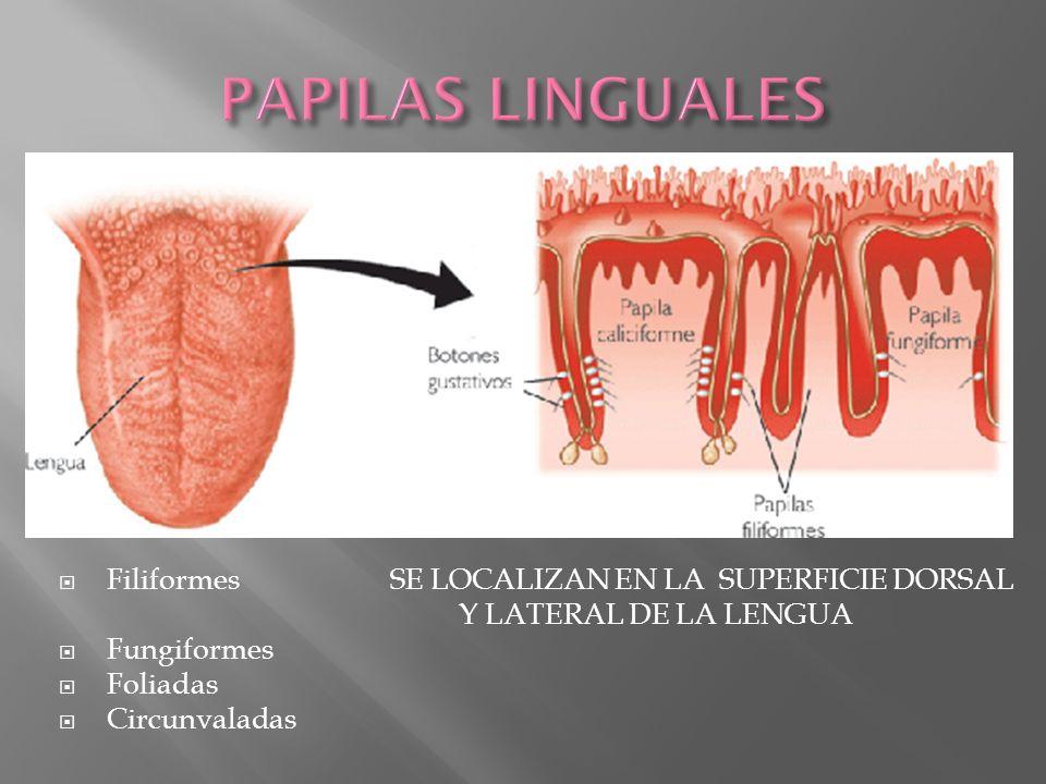 Estas poseen un recubrimiento de epitelio escamoso estratificado queratinizado y ayudan a raspar alimento de una superficie Las papilas filiformes no tienen corpusculos gustativos