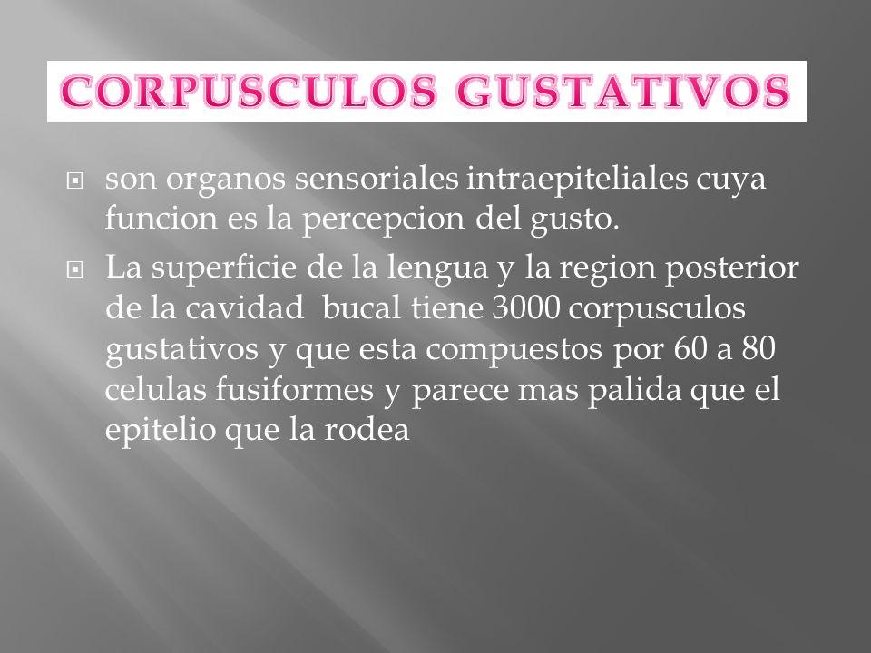ESTAN CONSTITUIDOS POR 4 TIPOS DE CELULAS: CELULAS BASALES ( TIPO IV) funcionan como reserva y regeneran los corpúsculos gustativos que tiene un promedio de 10 dias CELULAS OSCURAS(TIPO I) CELULAS CLARAS(TIPO II) CELULAS INTERMEDIAS (TIPO III