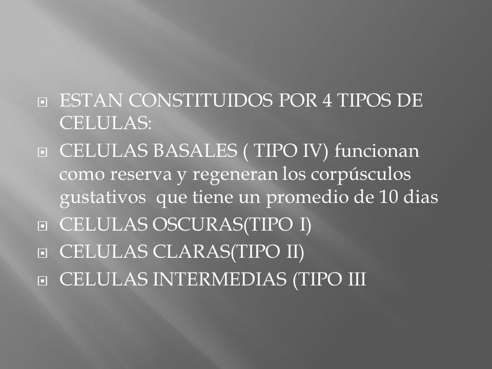 ESTAN CONSTITUIDOS POR 4 TIPOS DE CELULAS: CELULAS BASALES ( TIPO IV) funcionan como reserva y regeneran los corpúsculos gustativos que tiene un prome