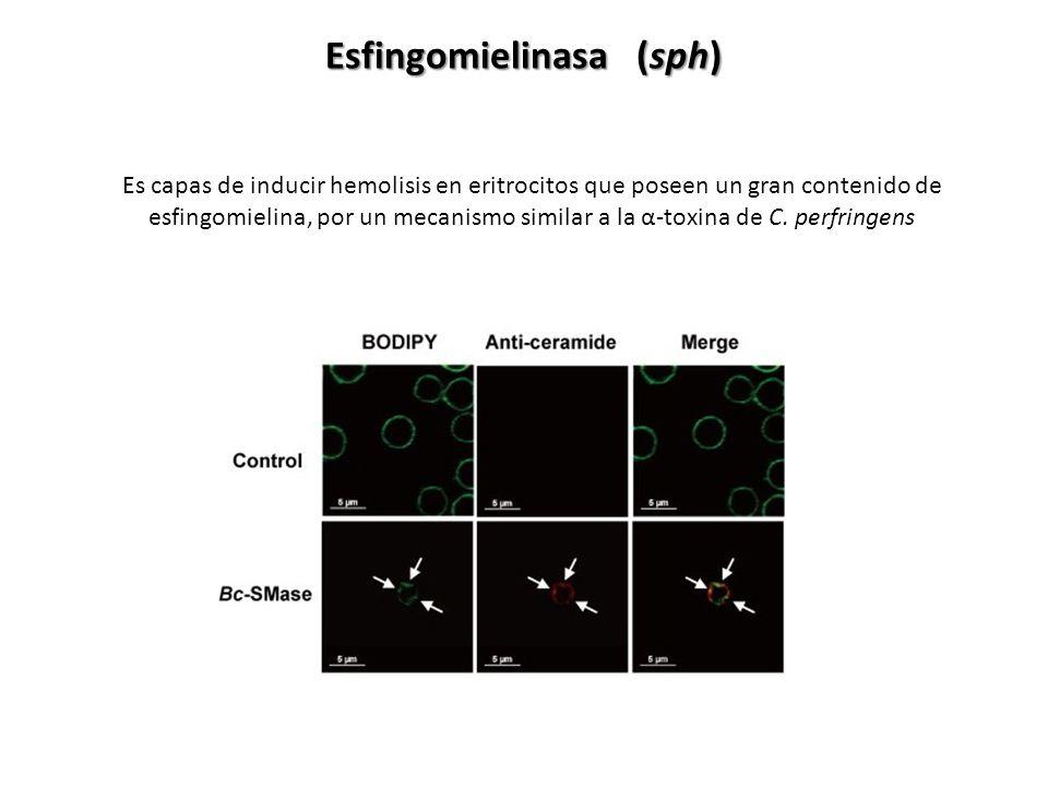 Esfingomielinasa (sph) Es capas de inducir hemolisis en eritrocitos que poseen un gran contenido de esfingomielina, por un mecanismo similar a la α-to