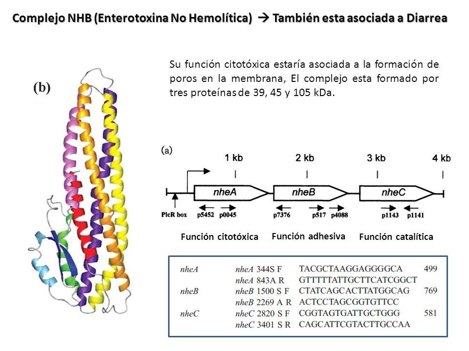 Complejo NHB (Enterotoxina No Hemolítica) También esta asociada a Diarrea Su función citotóxica estaría asociada a la formación de poros en la membran