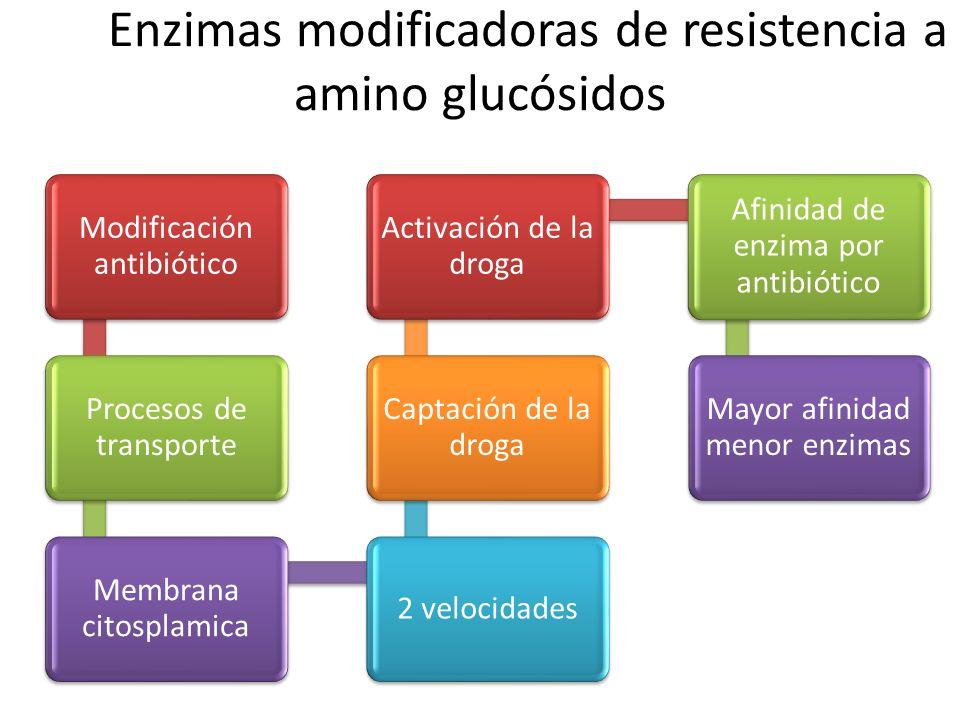Enzimas modificadoras de resistencia a amino glucósidos Modificación antibiótico Procesos de transporte Membrana citosplamica 2 velocidades Captación