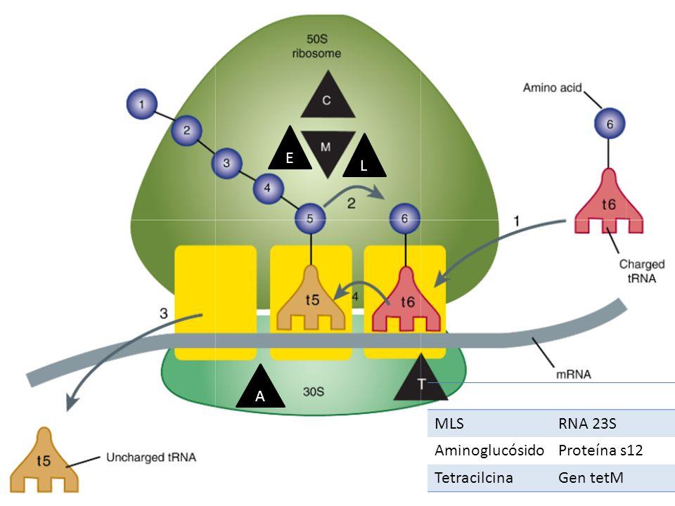 MLSRNA 23S AminoglucósidoProteína s12 TetracilcinaGen tetM A L E