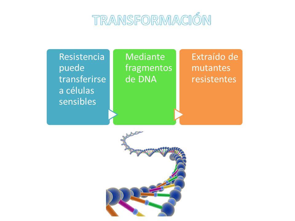 Resistencia puede transferirse a células sensibles Mediante fragmentos de DNA Extraído de mutantes resistentes