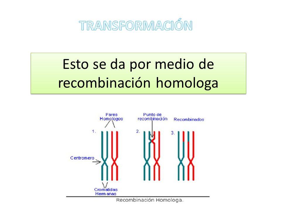 Esto se da por medio de recombinación homologa