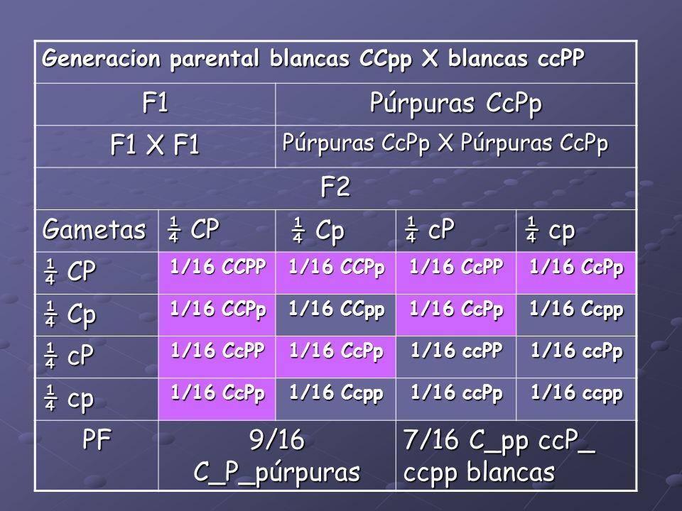 Generacion parental blancas CCpp X blancas ccPP F1 Púrpuras CcPp F1 X F1 Púrpuras CcPp X Púrpuras CcPp F2 Gametas ¼ CP ¼ Cp ¼ Cp ¼ cP ¼ cp ¼ CP 1/16 C