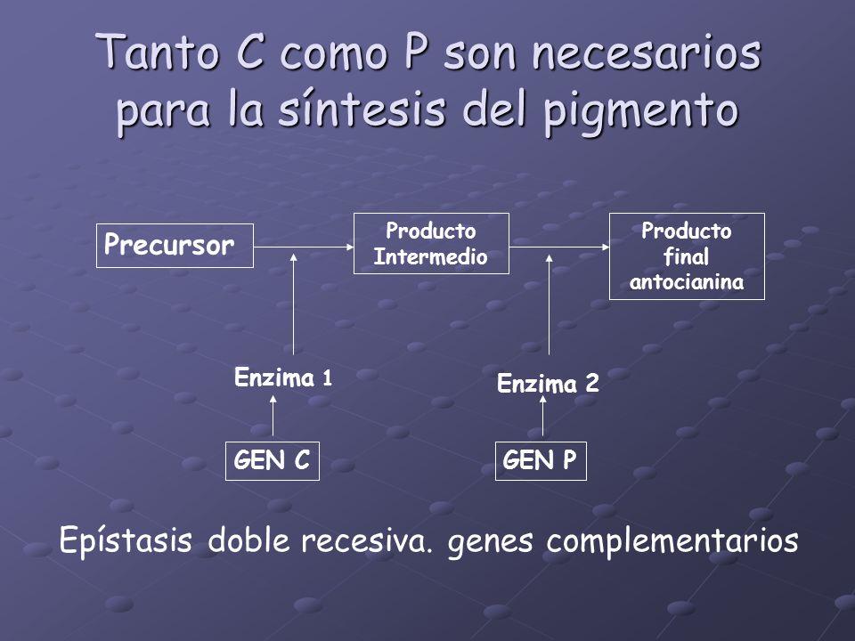 Tanto C como P son necesarios para la síntesis del pigmento Precursor Producto Intermedio Producto final antocianina Enzima 1 Enzima 2 GEN CGEN P Epís