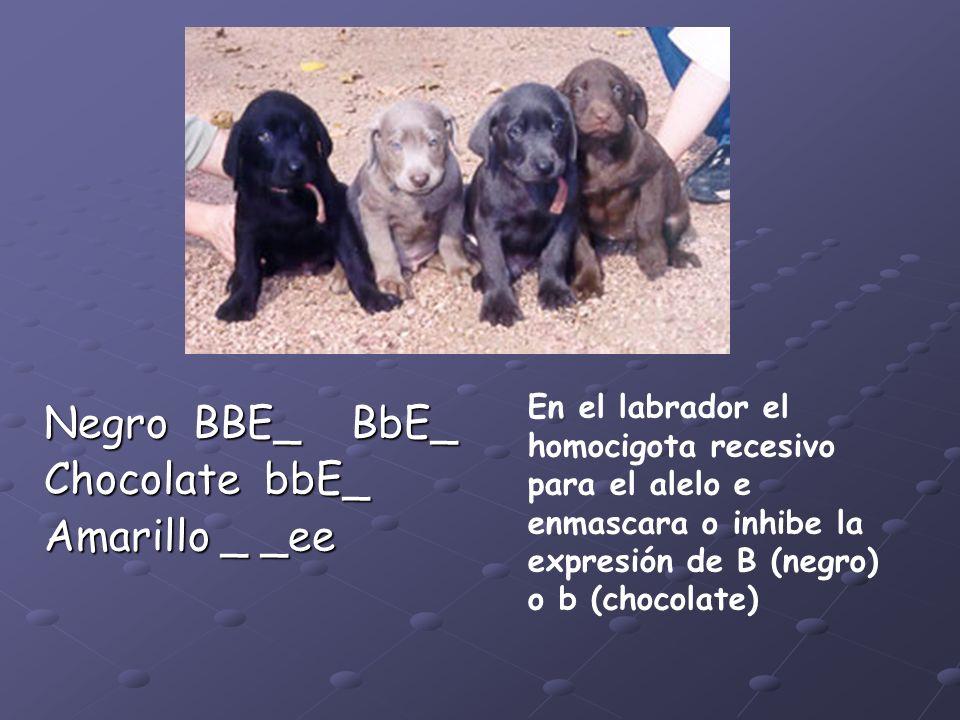 Negro BBE_ BbE_ Chocolate bbE_ Amarillo _ _ee En el labrador el homocigota recesivo para el alelo e enmascara o inhibe la expresión de B (negro) o b (