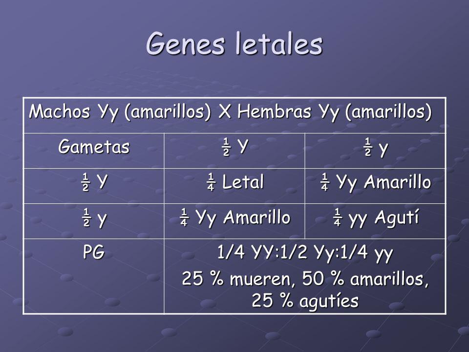 Genes letales Machos Yy (amarillos) X Hembras Yy (amarillos) Gametas ½ Y ½ y ½ Y ¼ Letal ¼ Yy Amarillo ½ y ¼ Yy Amarillo ¼ yy Agutí PG 1/4 YY:1/2 Yy:1