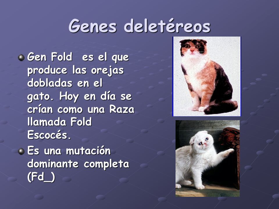 Genes deletéreos Gen Fold es el que produce las orejas dobladas en el gato. Hoy en día se crían como una Raza llamada Fold Escocés. Es una mutación do