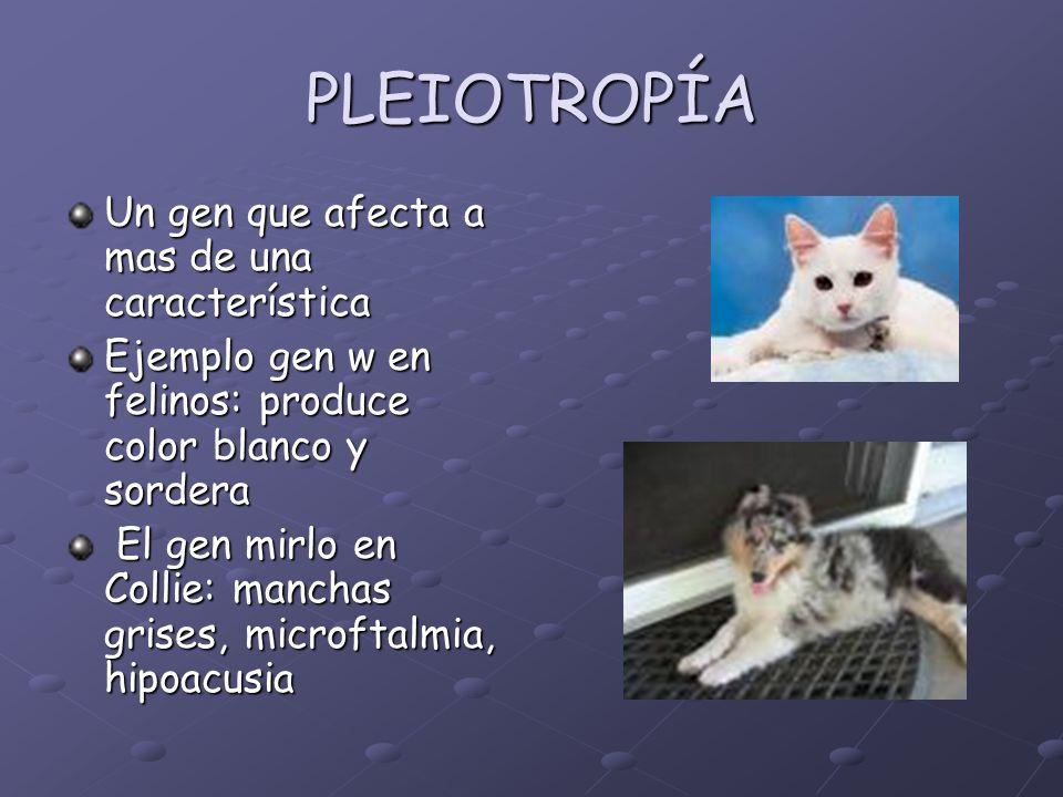 PLEIOTROPÍA Un gen que afecta a mas de una característica Ejemplo gen w en felinos: produce color blanco y sordera El gen mirlo en Collie: manchas gri