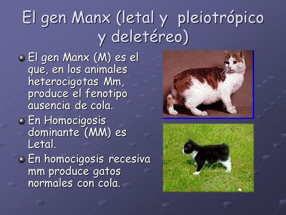 El gen Manx (letal y pleiotrópico y deletéreo) El gen Manx (M) es el que, en los animales heterocigotas Mm, produce el fenotipo ausencia de cola. En H