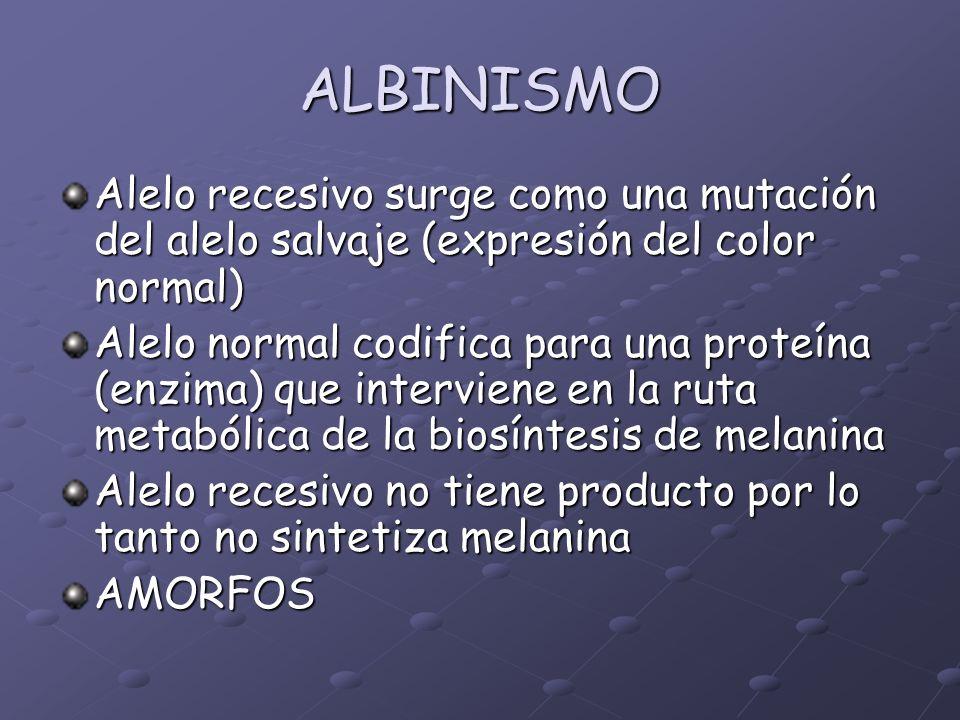ALBINISMO Alelo recesivo surge como una mutación del alelo salvaje (expresión del color normal) Alelo normal codifica para una proteína (enzima) que i