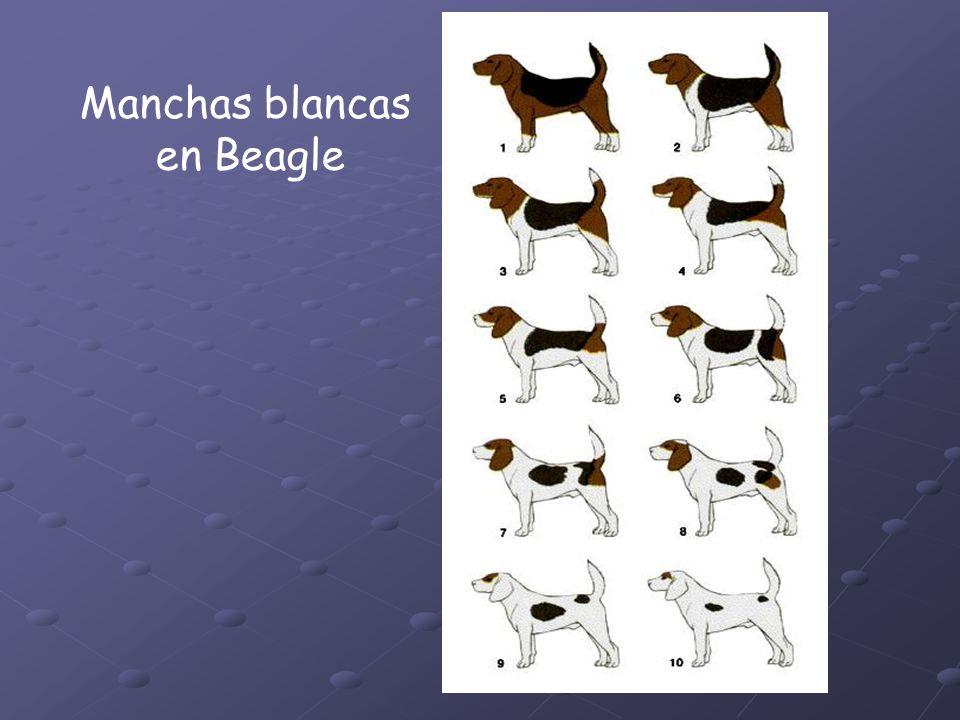 Manchas blancas en Beagle