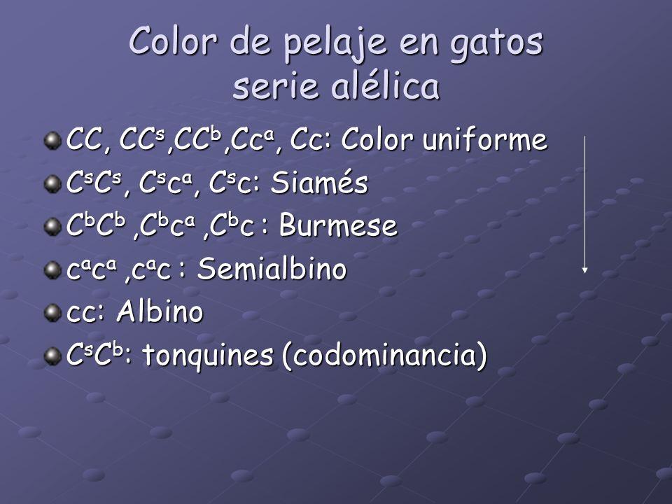 Color de pelaje en gatos serie alélica CC, CC s,CC b,Cc a, Cc: Color uniforme C s C s, C s c a, C s c: Siamés C b C b,C b c a,C b c : Burmese c a c a,