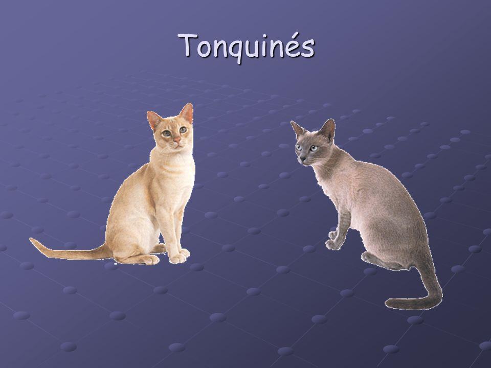 Tonquinés