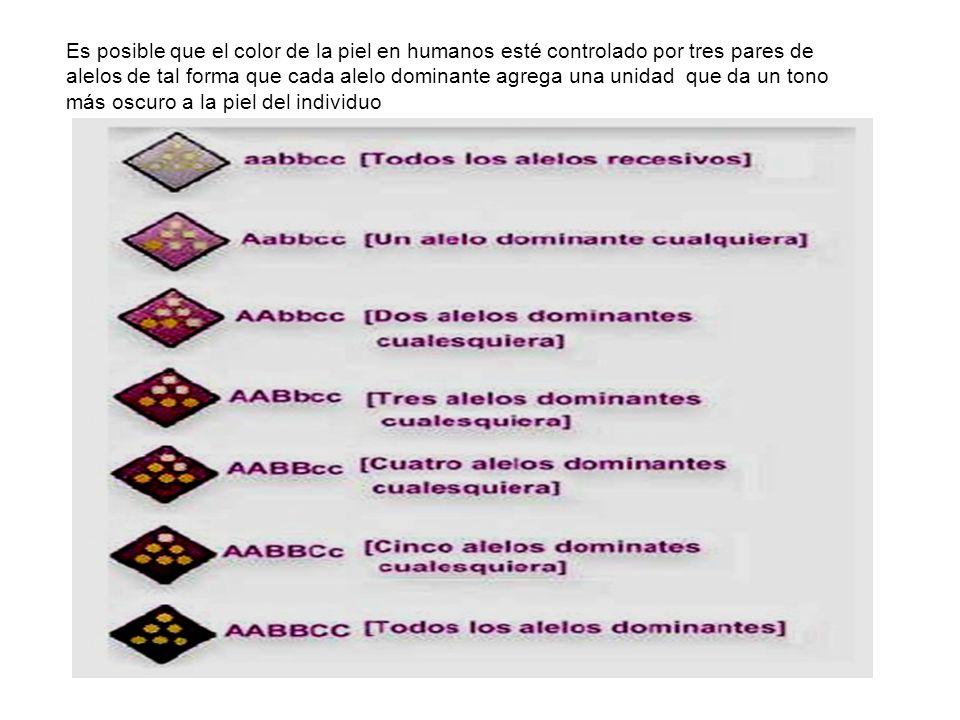 Es posible que el color de la piel en humanos esté controlado por tres pares de alelos de tal forma que cada alelo dominante agrega una unidad que da