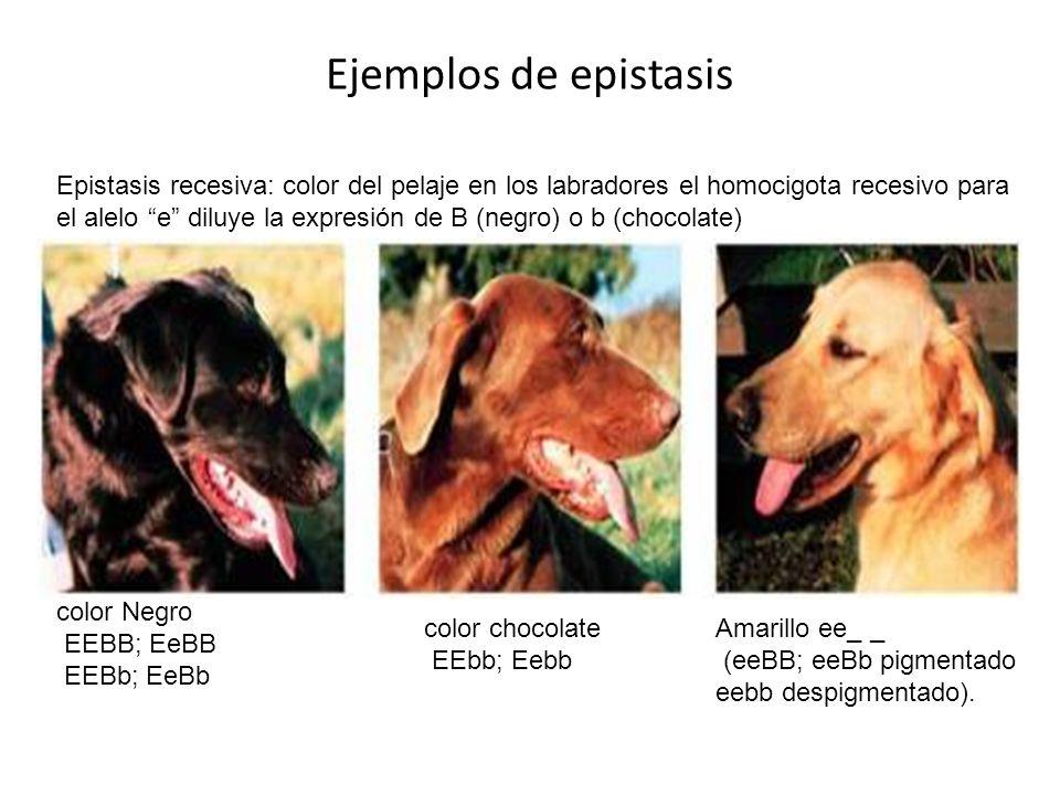 Ejemplos de epistasis Epistasis recesiva: color del pelaje en los labradores el homocigota recesivo para el alelo e diluye la expresión de B (negro) o