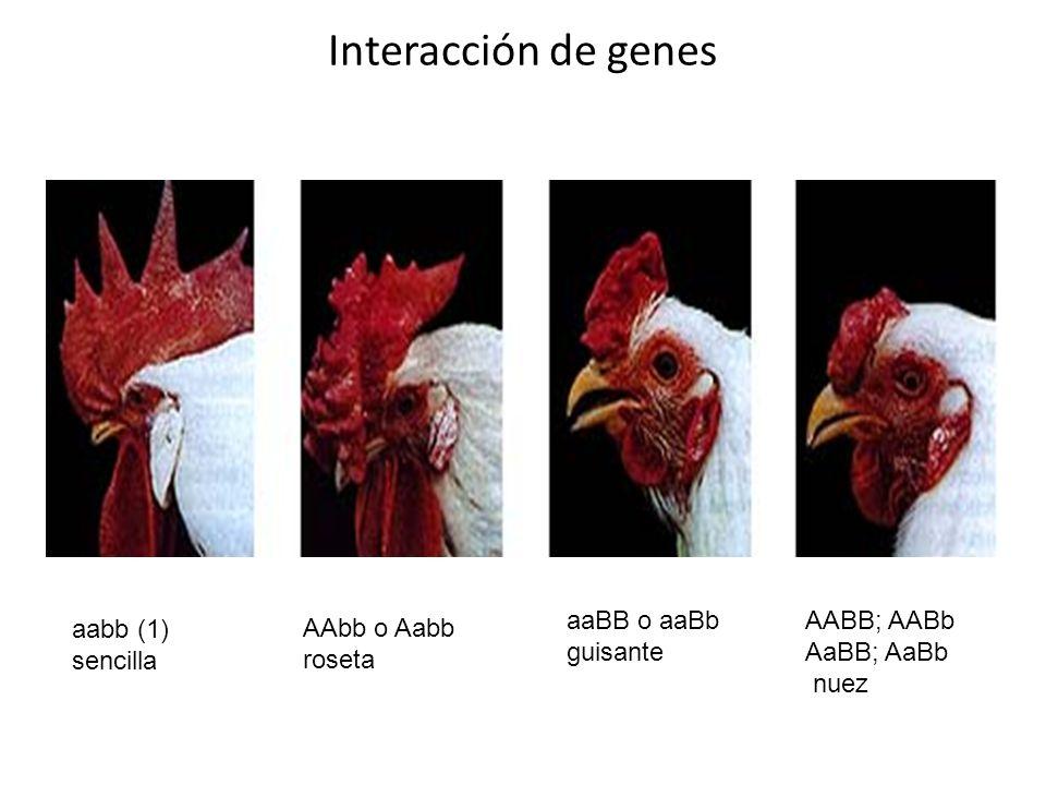 Interacción de genes AABB; AABb AaBB; AaBb nuez AAbb o Aabb roseta aaBB o aaBb guisante aabb (1) sencilla
