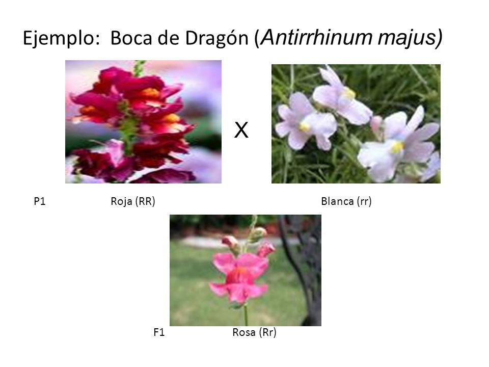 P1 Roja (RR) Blanca (rr) F1 Rosa (Rr) Ejemplo: Boca de Dragón ( Antirrhinum majus) X
