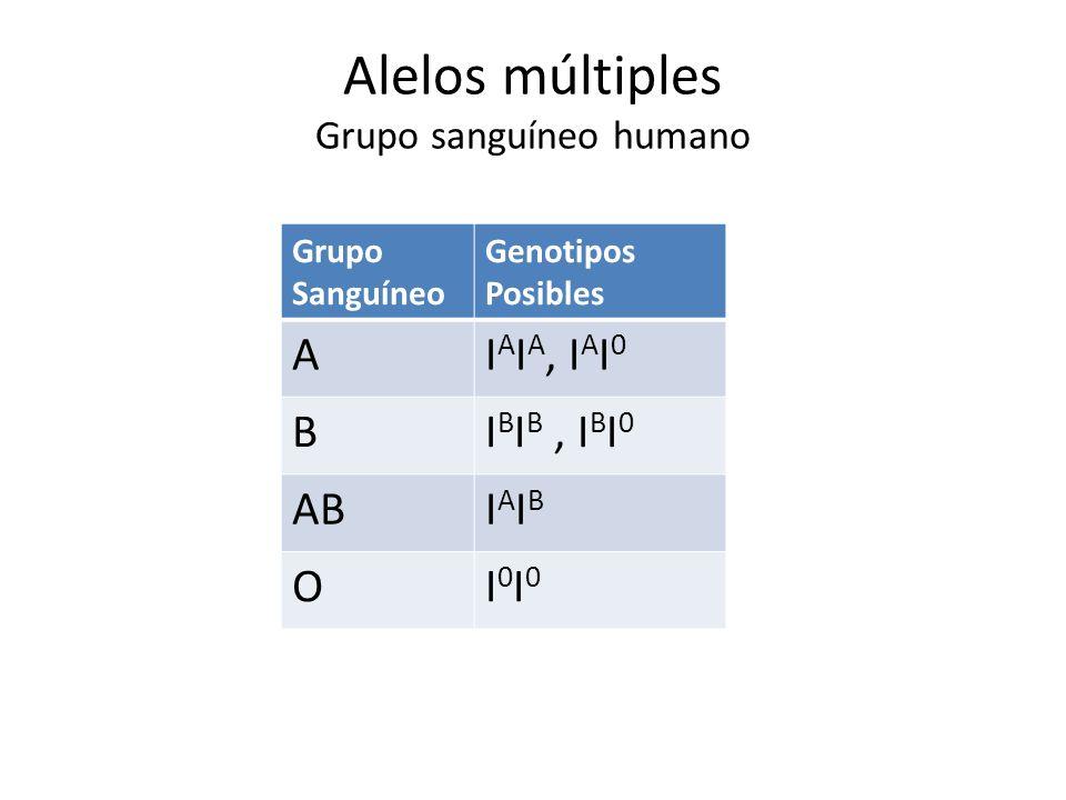 Alelos múltiples Grupo sanguíneo humano Grupo Sanguíneo Genotipos Posibles AI A I A, I A I 0 BI B I B, I B I 0 ABIAIBIAIB OI0I0I0I0