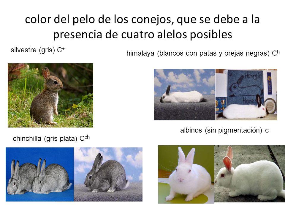 color del pelo de los conejos, que se debe a la presencia de cuatro alelos posibles chinchilla (gris plata) C ch silvestre (gris) C + himalaya (blanco