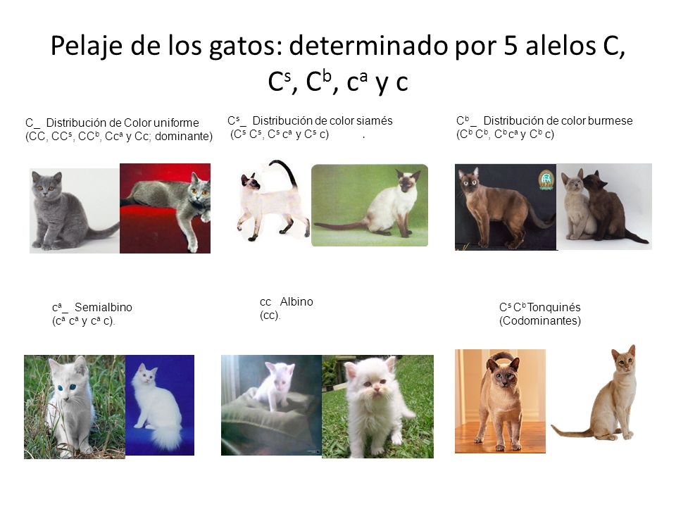 Pelaje de los gatos: determinado por 5 alelos C, C s, C b, c a y c C_ Distribución de Color uniforme (CC, CC s, CC b, Cc a y Cc; dominante) C s _ Dist