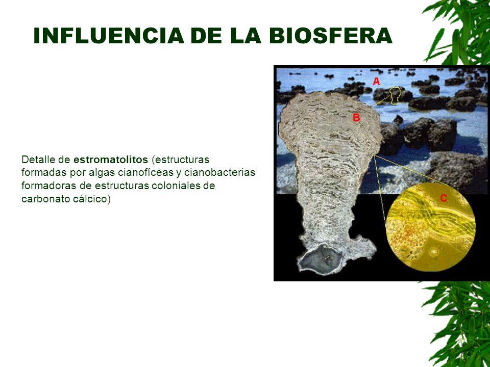 INFLUENCIA DE LA BIOSFERA Detalle de estromatolitos (estructuras formadas por algas cianofíceas y cianobacterias formadoras de estructuras coloniales de carbonato cálcico)