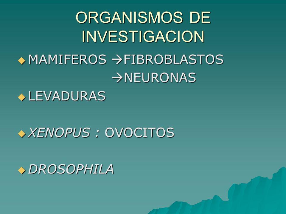 ORGANISMOS DE INVESTIGACION MAMIFEROS FIBROBLASTOS MAMIFEROS FIBROBLASTOS NEURONAS NEURONAS LEVADURAS LEVADURAS XENOPUS : OVOCITOS XENOPUS : OVOCITOS